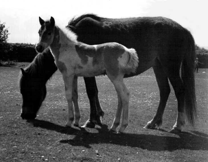 Dartmoor Pony with foal, Devon. Black & white photograph