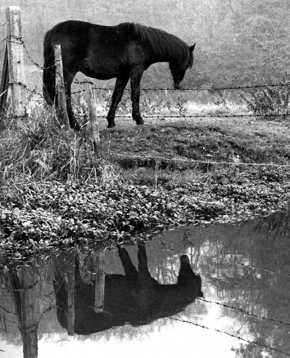 Horse and reflection, Digswell, Hertfordshire. Black & white photograph