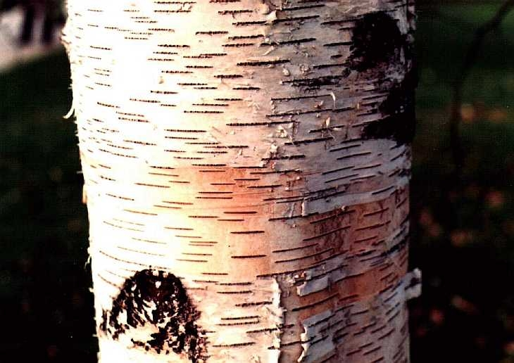 Silver birch bark, Kew Gardens, London