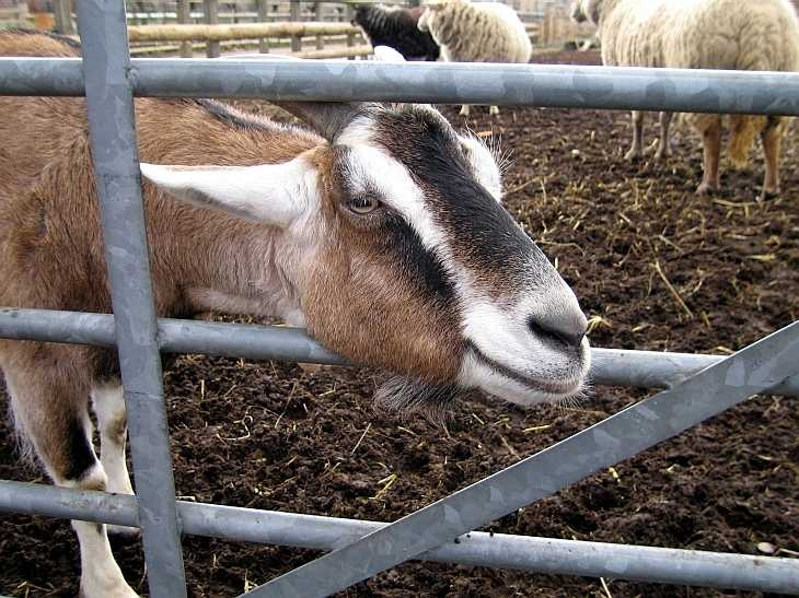 Goat, Spitalfields City Farm, East London