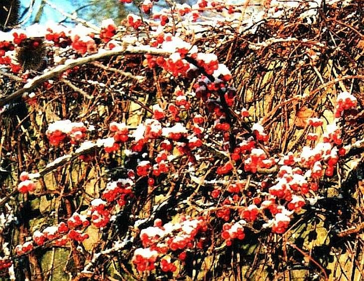 Berries in snow, Grindleford, The Peak District