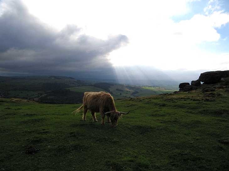 Cow and dramatic sky, Baslow Edge, The Peak District, Derbyshire