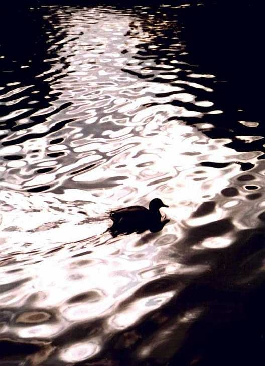 Duck on water at Hyde Park, London