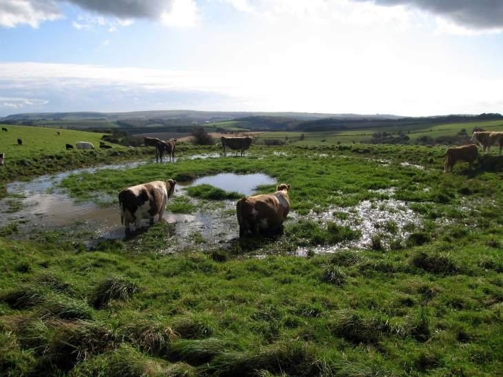 Cows in dew pond on The South Downs