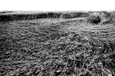 Cornfield damaged by wind