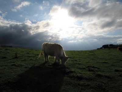 Cows, stormy sky, Baslow Edge, Curbar, Derbyshire Peak District