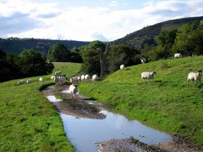 Sheep, trees and water