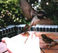 Sparrow feeding from hand, Regent's Park, London
