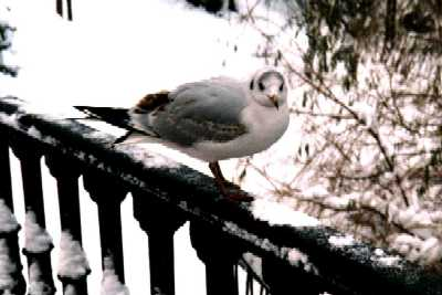 Seagull on bridge, London, Regent's Park in snow