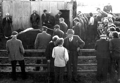 Cattle auction on South Uist